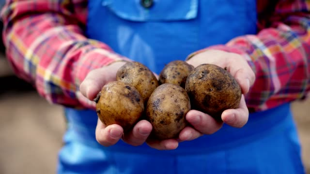 close-up, the farmer holds potato tubers in his hands. Potato harvest, modern agriculture, farming. Eco farm in the countryside video