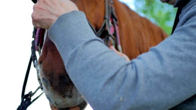 Close-up - the rider checks the bridle on horse's muzzle video
