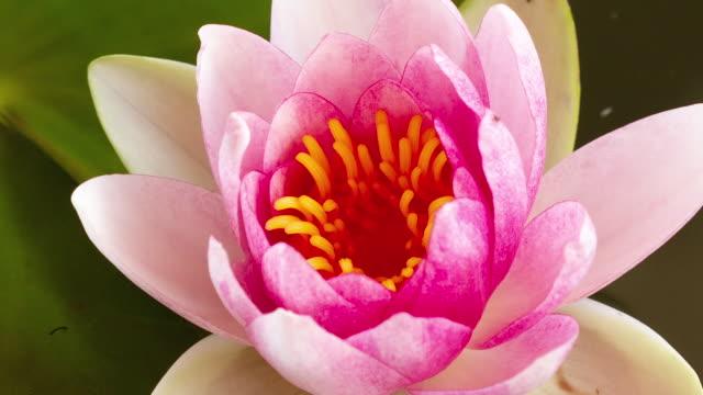zbliżenie czasu różowego kwiatu lilii lotosowej i kwitnienia w stawie. - lilia filmów i materiałów b-roll