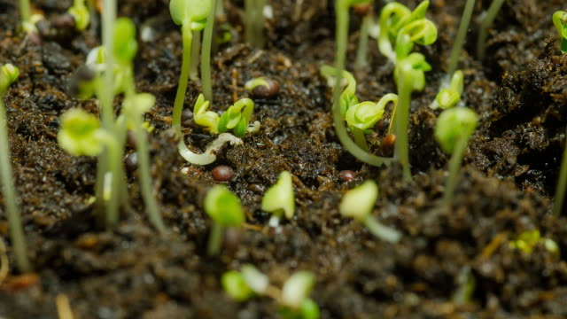 close-up timelapse : green bean sprouts initially grow in dry and wet condition video