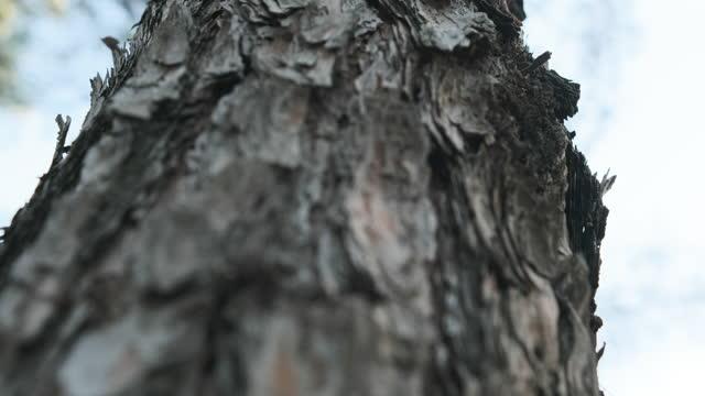 Close-up to Pine tree tilt up