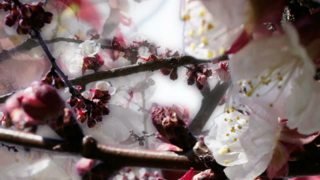 APPLE BLOSSOM : close-up, unilateral dense (seamless loopable) video