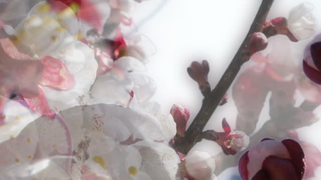 APPLE BLOSSOM : close-up, unilateral (seamless loopable) video