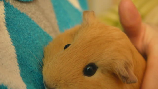 closeup video of cute cavy in womans hands