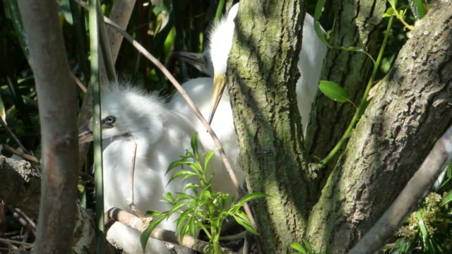 nahaufnahme video von silberreiher in ihrem nest mit ambient-sound - nest stock-videos und b-roll-filmmaterial