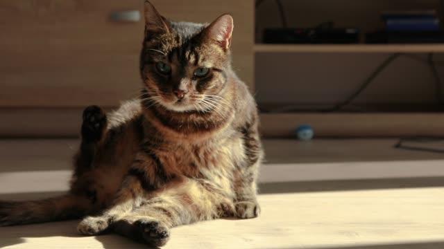 close-up video of pet cat relaxing in the sun - уход за поверхностью тела у животных стоковые видео и кадры b-roll
