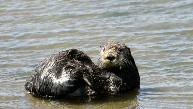Close-up Video of Wild Sea Otter Resting in Bay Close-up of wild sea otter resting in the calm harbor water of Moss Landing.  Taken in Moss Landing, California, USA animal whisker stock videos & royalty-free footage