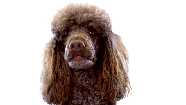 4K Close-Up Video Portrait of Brown Poodle On White Background