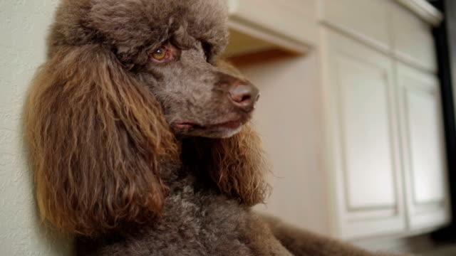 4K Close-Up Video Portrait Of Brown Poodle