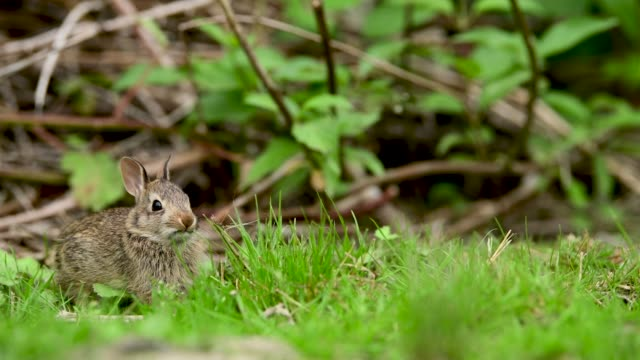 Close-up video with copy space of an eastern cottontail rabbit (Sylvilagus floridanus) in British Columbia, Canada