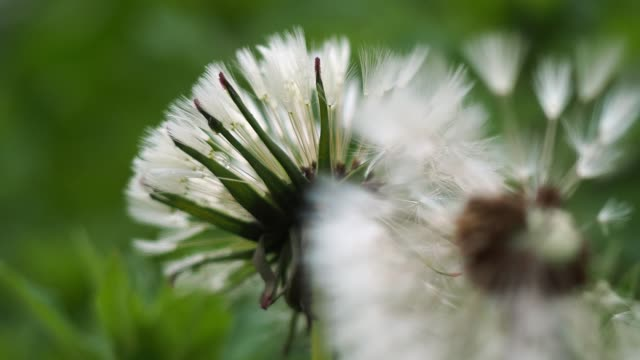 Closeup view macro of two white fluffy dandelion flowers