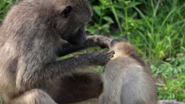 Close-up view of a baboon mother who takes care of his baby . Beautiful moment in the wild - animal concept in nature