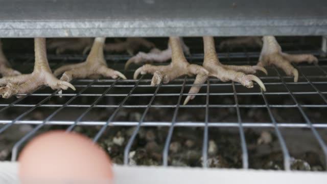 そのワイヤーケージに立って鶏の足を敷設ケージエッグの4k クローズアップビュー - 抗生物質点の映像素材/bロール