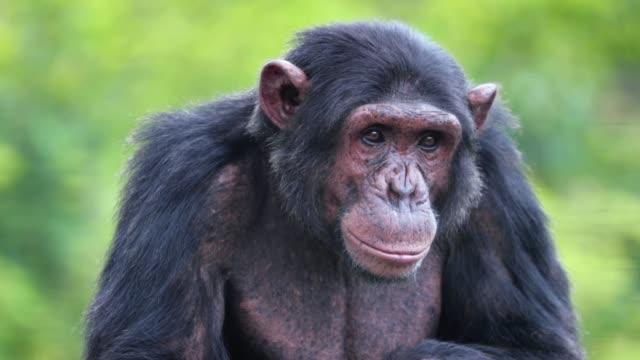 vista ravvicinata di uno scimpanzé nella savana, in sudafrica.. bel momento in natura - concetto animale in natura - fauna selvatica video stock e b–roll