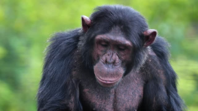 Close-up view of a chimpanzee in the savannah, in South Africa.. Beautiful moment in the wild - animal concept in the wild
