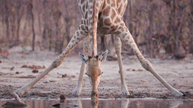 Close-up view of a giraffe with stretched out legs drinking at a waterhole, Okavango Delta, Botswana