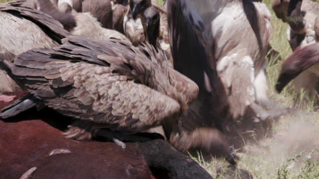 Close-up view of a large group of white backed vultures feeding on a carcass video