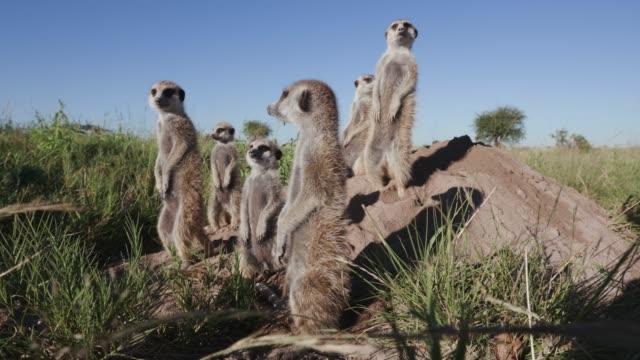 vidéos et rushes de vue rapprochée 4k d'un petit groupe de suricates se coucher dans le soleil tôt le matin ontop de leur terrier, botswana - animaux à l'état sauvage