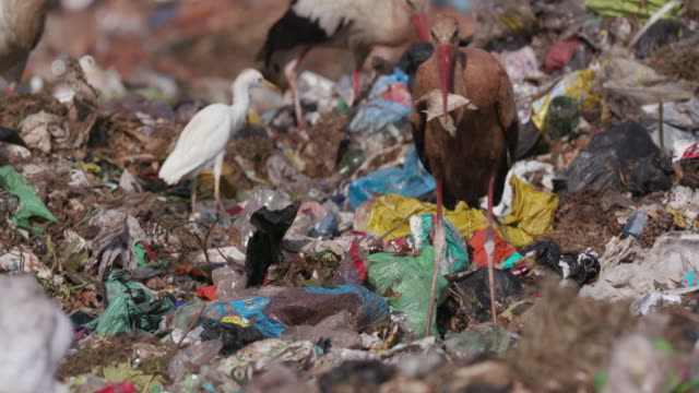 4k close-up view of a very dirty european white stork eating something it found while scavenging on a landfill dump site - climate change video stock e b–roll