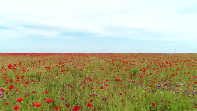 Close-up view of amazing and endless poppy field against blue cloudy sky in warm summer day. Shot. Beautiful summer landscape