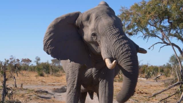 4k nahaufnahme eines elefanten, der aggressiv den kopf schüttelt und die kamera, botswana, betrachtet - bedrohte tierart stock-videos und b-roll-filmmaterial