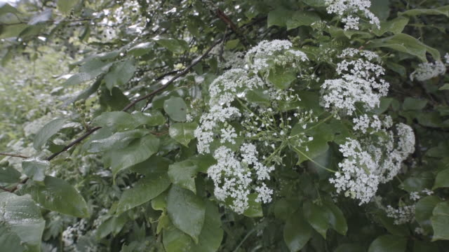 Close-up view of beautiful white blossoms of cow parsley plant or it is also known Queen Anne's, lace growing in the wild near the trees. Stock footage. Anthriscus sylvestris video