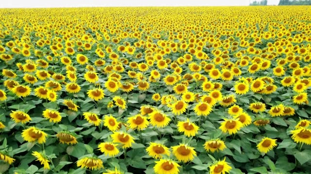 Close-up view of brightly colorful sunflowers swaying slowly by the wind at daytime.