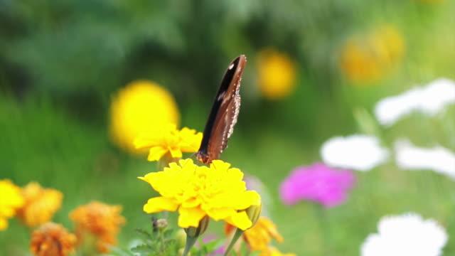 vídeos y material grabado en eventos de stock de vista de cerca de mariposa privilegiada sobre amarillo flores en el jardín - botánica