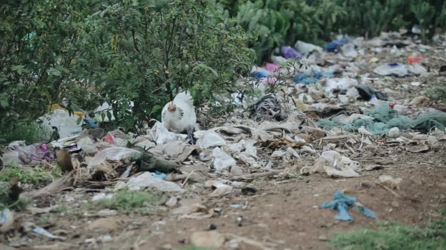 Close-up view of dump in Africa. White chicken trying to find food in a heap of rubbish. Close-up view of dump in Africa. White chicken trying to find food in a heap of rubbish. Waste products near forest. senegal stock videos & royalty-free footage