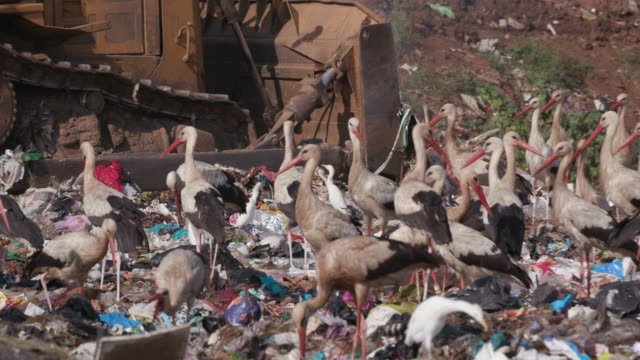Video 4K close-up view of European White Storks scavenging for food on a landfill dump site while a bulldozer works right next to them