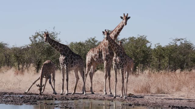 4K close-up view of five giraffes standing and  drinking at a waterhole, Etosha National Park, Namibia - video