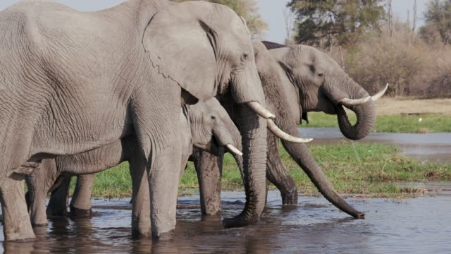Close-up view of four elephants standing in a river drinking in the Okavango Delta, Botswana video