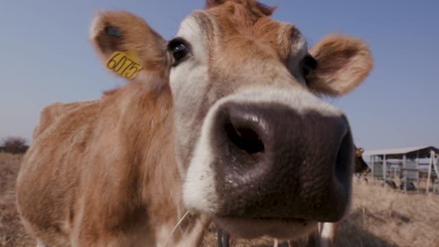 vídeos de stock e filmes b-roll de close-up view of jersey cow looking straight ahead and puts nose up to camera - vaca