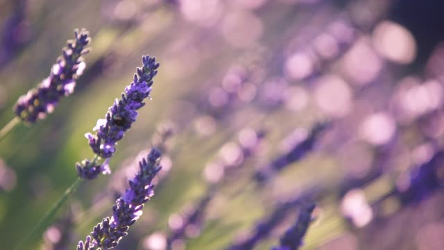 vídeos de stock e filmes b-roll de close-up view of lavender in provence, france - lavanda planta