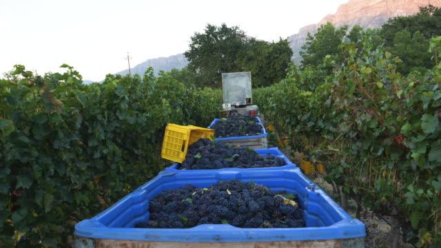 vista ravvicinata 4k degli agricoltori maschi che svuotano le uve rosse raccolte in bacini di plastica trainati da un trattore in vigneti in una tenuta vinicola nella provincia del capo occidentale, in sudafrica - fare la raccolta video stock e b–roll
