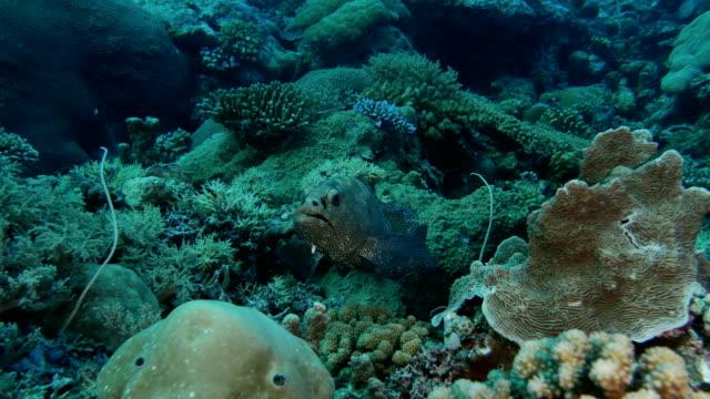 vídeos y material grabado en eventos de stock de vista de primer plano del mero marmoleado - sea life park