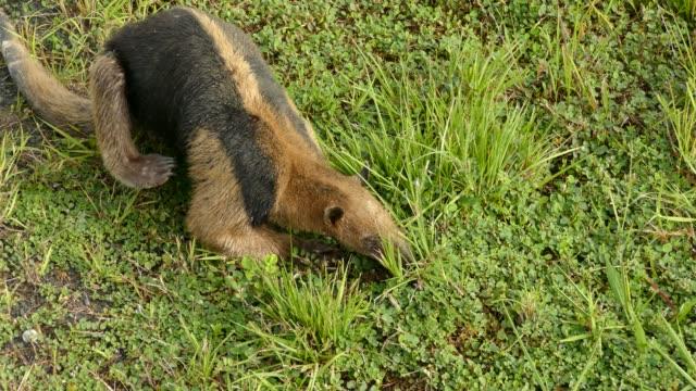 nahaufnahme der nördlichen tamandua fütterung im gras beim kratzen zurück - ameisenbär stock-videos und b-roll-filmmaterial