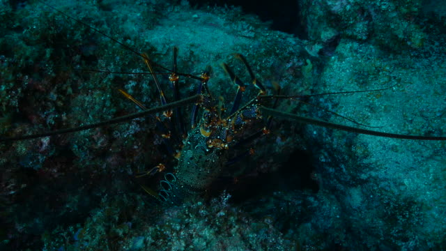 Close-up view of Ogasawara Red Spiny Lobster