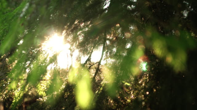 Close-up view of the evergreen needle in the pine tree. Beautiful fresh forest background in bright day video