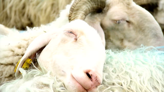 vista ravvicinata del gregge di pecore. le pecore sono vicine l'una all'altra e dormono sulla schiena - mammifero video stock e b–roll