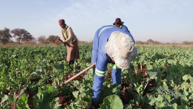 Close-up view of three African woman manually ploughing a kale field with a hoe video
