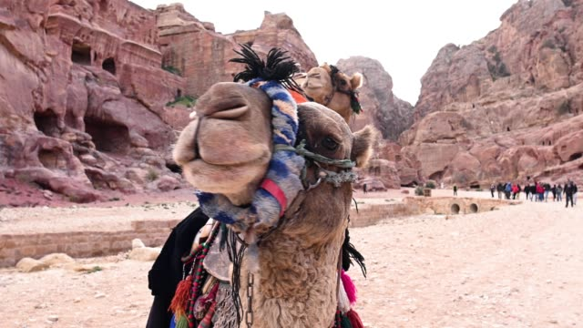 Close-up view of two beautiful funny camels in the Unesco World Heritage Site of Petra. Petra is a historical and archaeological city in southern Jordan.