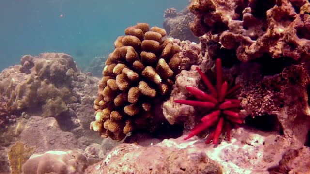 Close-up view of underwater reef and pencil urchin video