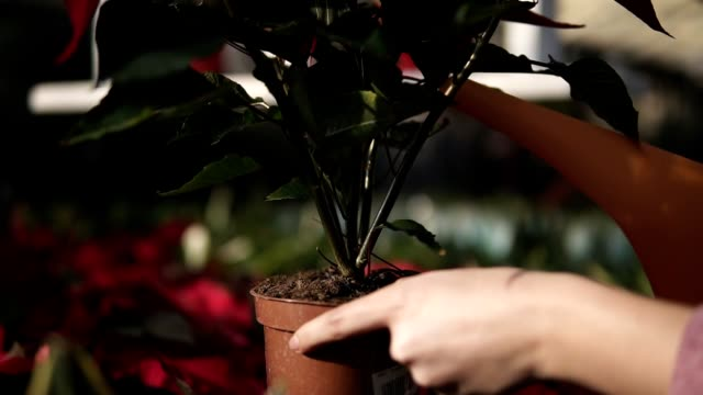 Closeup view of young female gardener in uniform watering a pot of red poinsettia with garden watering can in greenhouse video