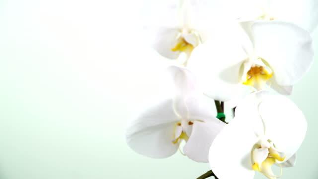 nahaufnahme der phalaenopsis-orchidee - orchidee stock-videos und b-roll-filmmaterial