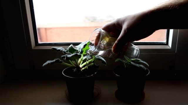 Close-up watering flowers and caring for plants at home. A man is watering flowers violets on the windowsill. Close-up watering flowers and caring for plants at home. A man is watering flowers violets on the windowsill. potted plant stock videos & royalty-free footage