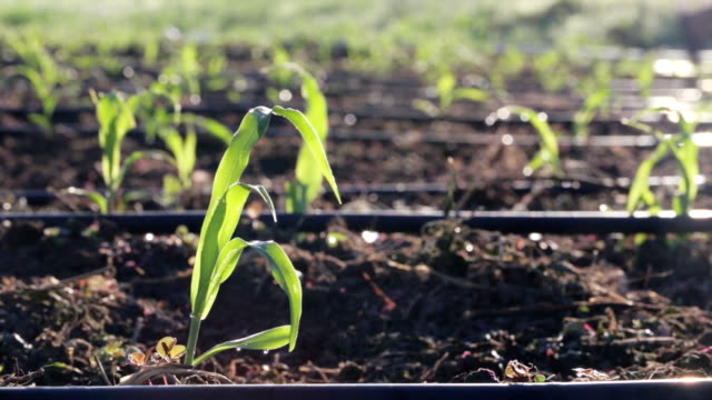 vidéos et rushes de gros plan d'arrosage du champ de maïs de jeunes pousses à la ferme biologique - arroser