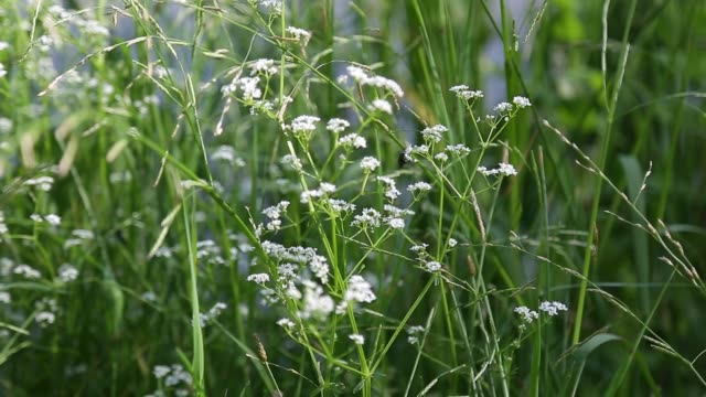 close-up, white wildflowers swaying in the wind - pistillo video stock e b–roll