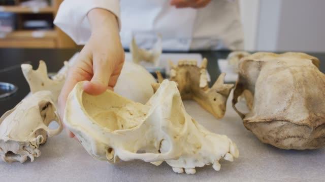 stockvideo's en b-roll-footage met closeup met primate schedels - dierlijk bot