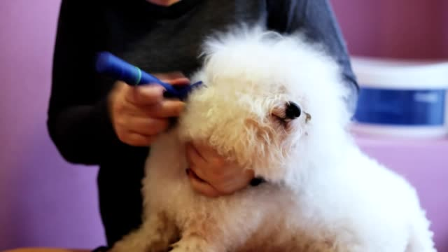 Close-up woman groomer combing white fluffy dog breed Bichon Frize